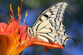 Butterfly on flower (lily) — Stockfoto