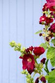 Red hollyhocks — Stock Photo