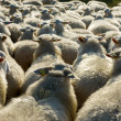 Sheep cattle in Holland — Stok fotoğraf