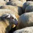 Sheep cattle in Holland — Stock Photo #11703978