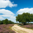 Heather landscape — Stock Photo #12190002