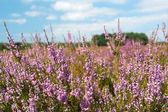 Heather landscape — Stock Photo
