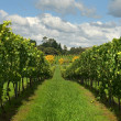 Rows of Grapevines growing in a vineyard — Stock Photo