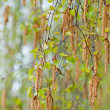Catkins — Stock Photo