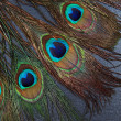 Beautiful exotic peacock feather eyes — Foto Stock