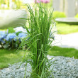 Ornamental grass in garden - Stock Photo