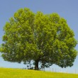 Stock Photo: Single ash tree