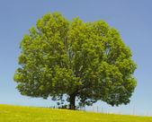 Single ash tree — Stock Photo