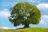 Duże pojedyncze buk drzewo — Zdjęcie stockowe