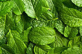 Fresh mint leaves — Stock Photo