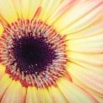 Macro photo of gerber flower — Stock Photo #10877354