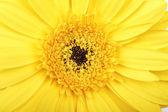 Macro photo of gerber flower — Stock Photo