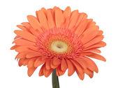 Gerbera flower. — Stock Photo
