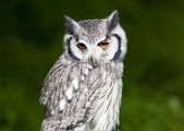 Grey owl perched with green blurred background — Stock Photo