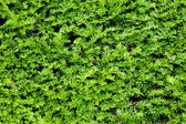 Yew bush close up background — Stock Photo