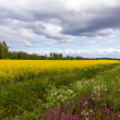 Field of Bright Yellow rapeseed in front of a forest — Stock Photo