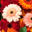 Vibrant Colorful Daisy Gerbera Flowers — Stock Photo