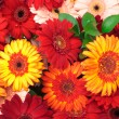Royalty-Free Stock Photo: Vibrant Colorful Daisy Gerbera Flowers