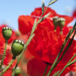 Poppy pods — Stock Photo #11308479