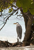 Heron, Maldives — Stock Photo