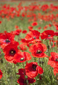 Poppies1 — Stock Photo