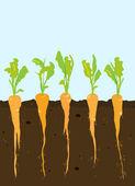 Carrots growing — Stock Vector
