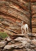Mountain goat — Stock Photo