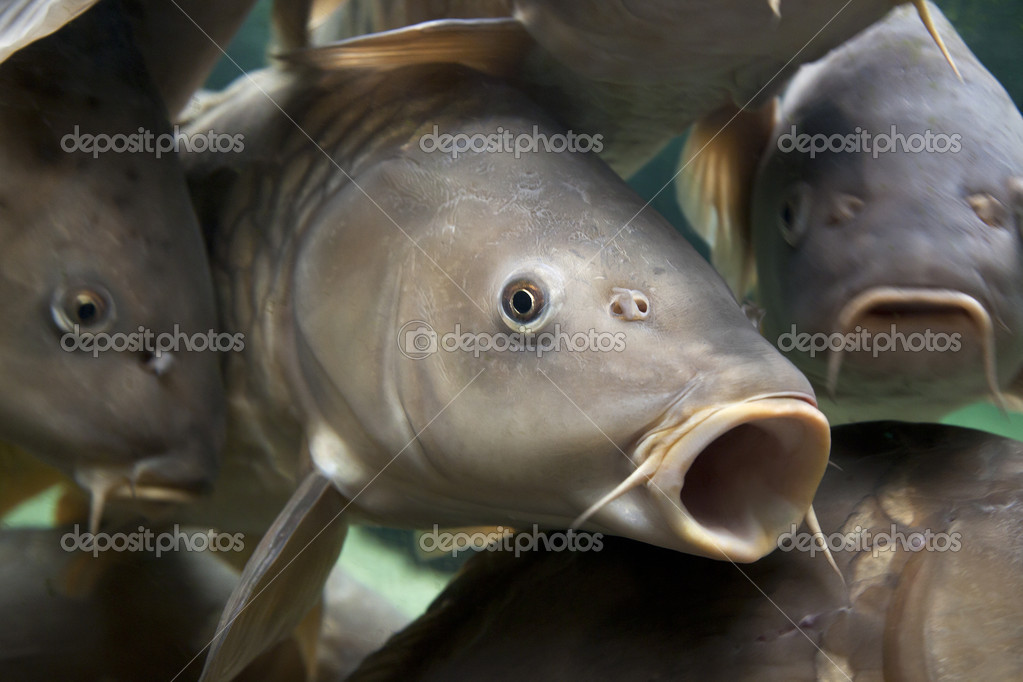 Close-up of a shoal of common carp, Cyprinidae Carpio  Stock Photo #11913745