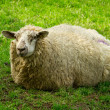 Irish sheep — Stock Photo