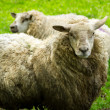 Irish sheeps — Stock Photo #10875144