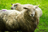 Irish sheeps — Stock Photo