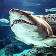 Shark underwater - Stock Photo