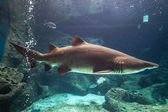 Shark underwater — Stock Photo
