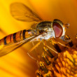 Stock Photo: Hoverfly on flower