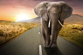 Elephant walking on the road — Stock Photo