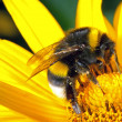 Bumblebee on flower — Stock Photo #11829445