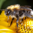 Stock Photo: Bumblebee on flower