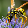Wasp on flower — Stock Photo