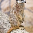 Meerkat portrait - Stock Photo