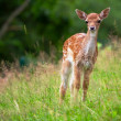Photo: Young roe deer