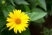 Yellow Gerber flower — Stock Photo