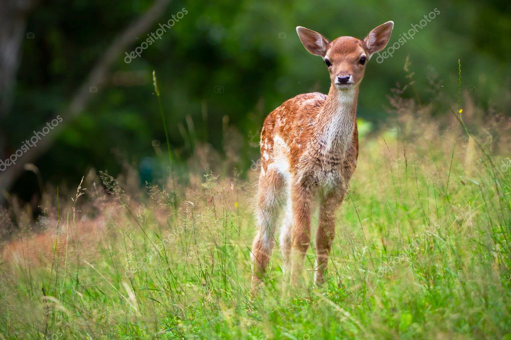 Young roe deer on the meadow — Stock Photo #11829588