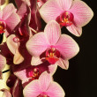 Foto Stock: Orchid flowers
