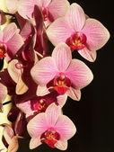 Orchideenblüten — Stockfoto