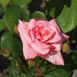 Pink rose — Stock Photo #11912277