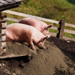 Two pigs — Stockfoto