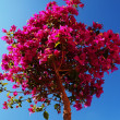 Bougainvillea — Stock Photo #12401095