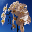 Orchid flowers — Stock Photo #12401107