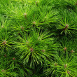 Stock Photo: Pines needles