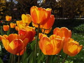 Tulips bloom — Stock Photo